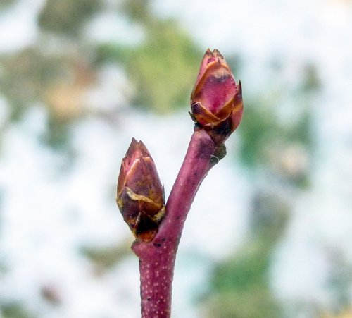 7. Blueberry Buds