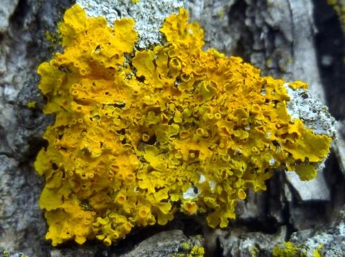 7. Poplar Sunburst Lichen