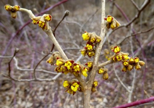 7. Yellow Witch Hazel