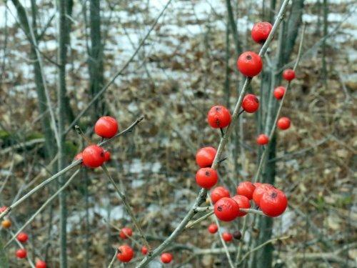 8. Winterberries