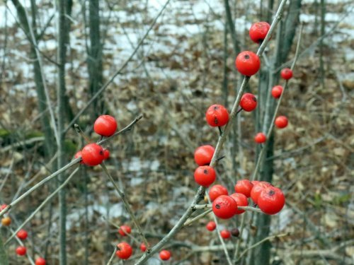 8. Winterberries