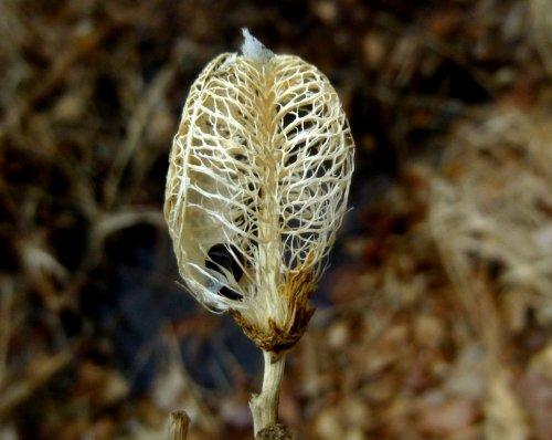 1. Daylily Seed Pod