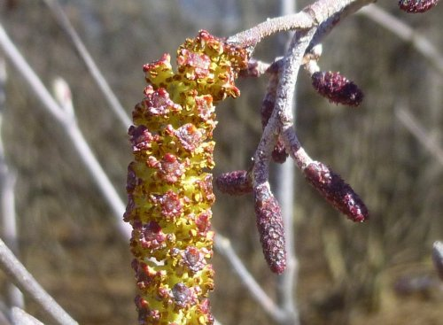 1. Male and Female Alder Catkins