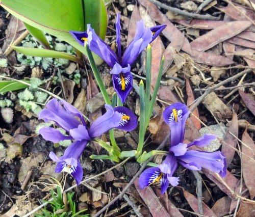 10. Reticulated Iris