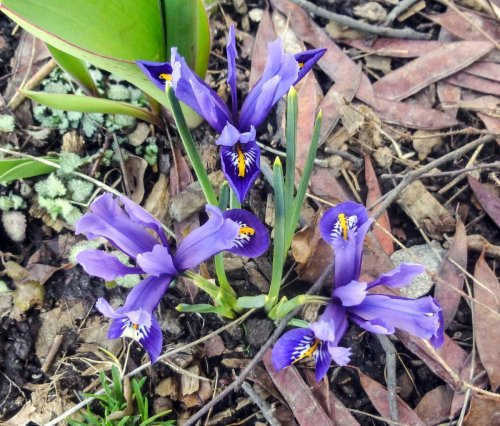 10. Reticulated Iris