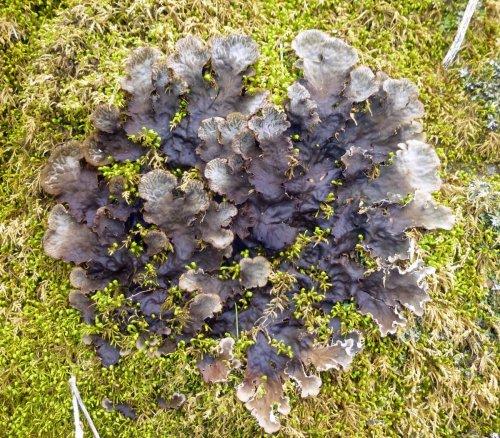 12. Dog Lichen