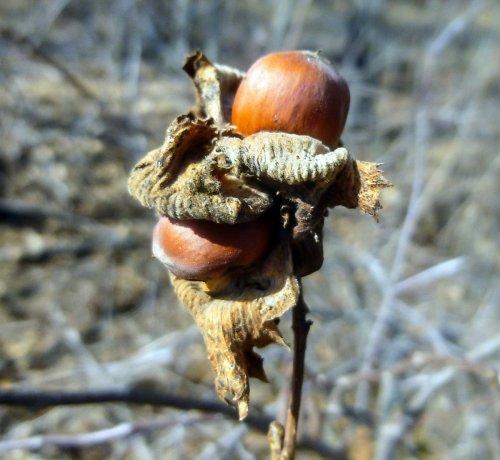 13. Hazelnuts