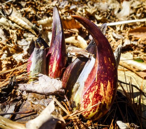 14. Skunk Cabbage