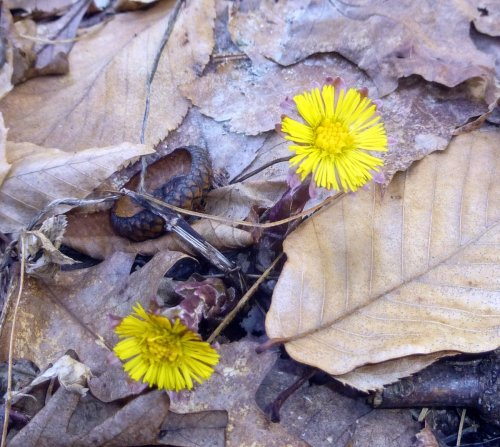 16. Coltsfoot