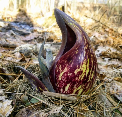 16. Skunk Cabbage