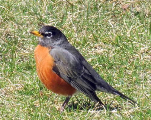 17. Robin