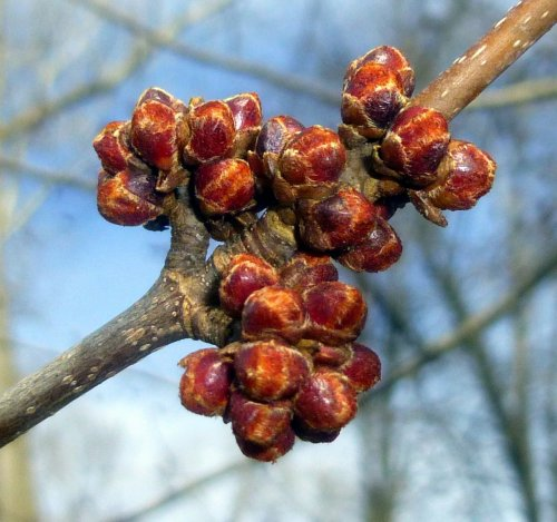 19. Red Maple Buds