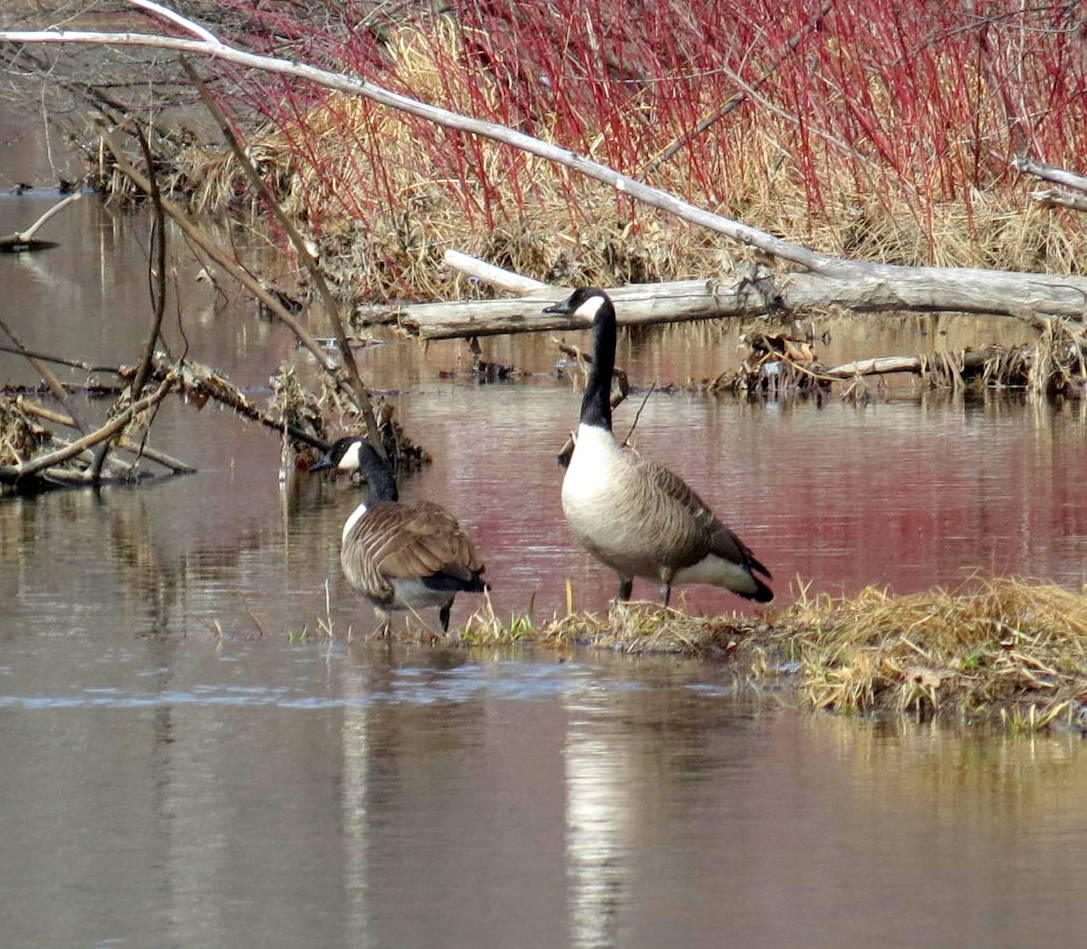 3. Canada Geese