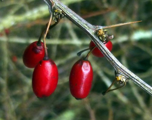 4. Barberry Berries