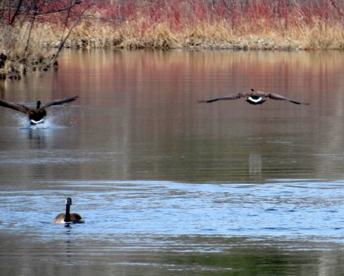 4. Canada Geese Flying