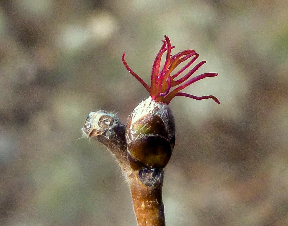 6. Hazel Female Flower