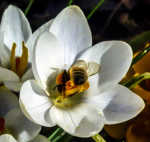 7. Bee in Crocus