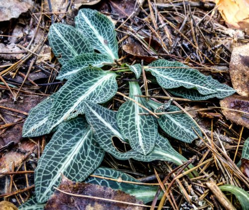 7. Downy Rattlesnake Plantain