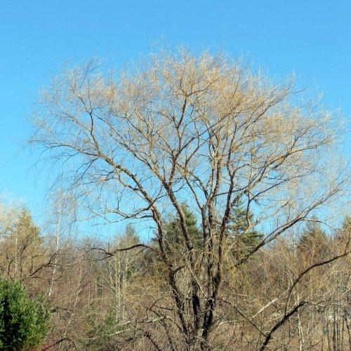 7. Golden Willow