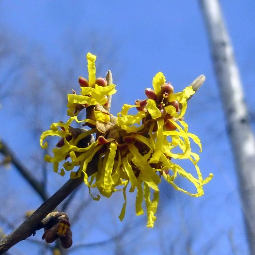 7. Witch Hazel