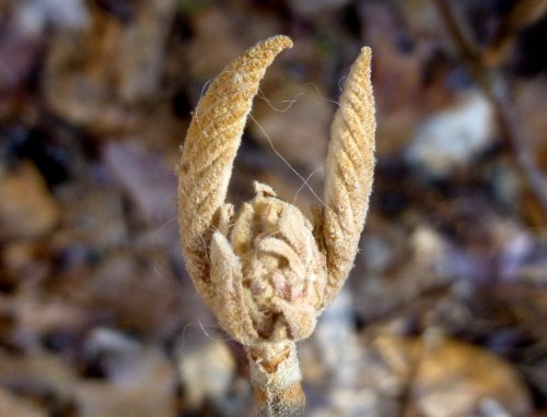 8. Hobblebush Bud