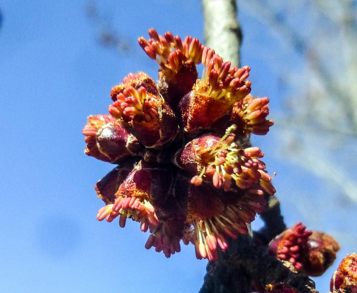 8. Male Red Maple Flowers