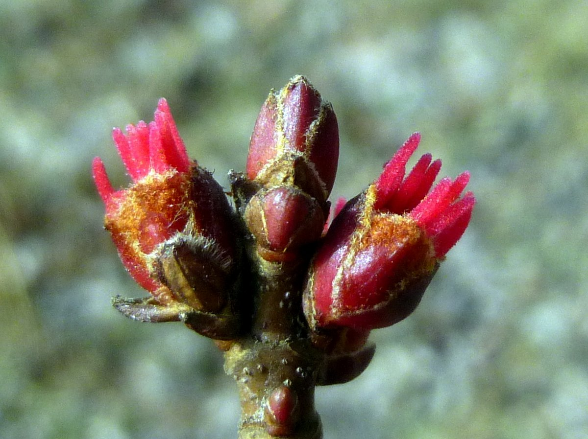 9. Female Red Maple Flowers