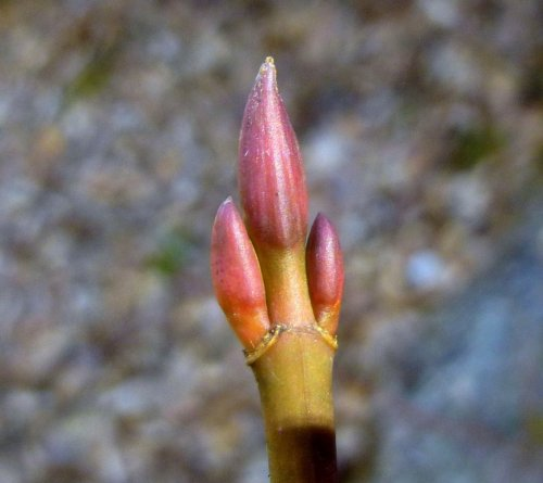 9. Striped Maple Buds