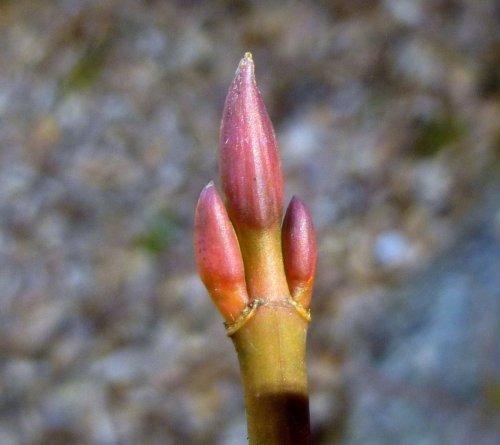 9. Striped Maple Buds