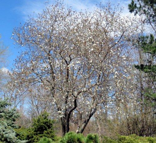 1. Magnolia
