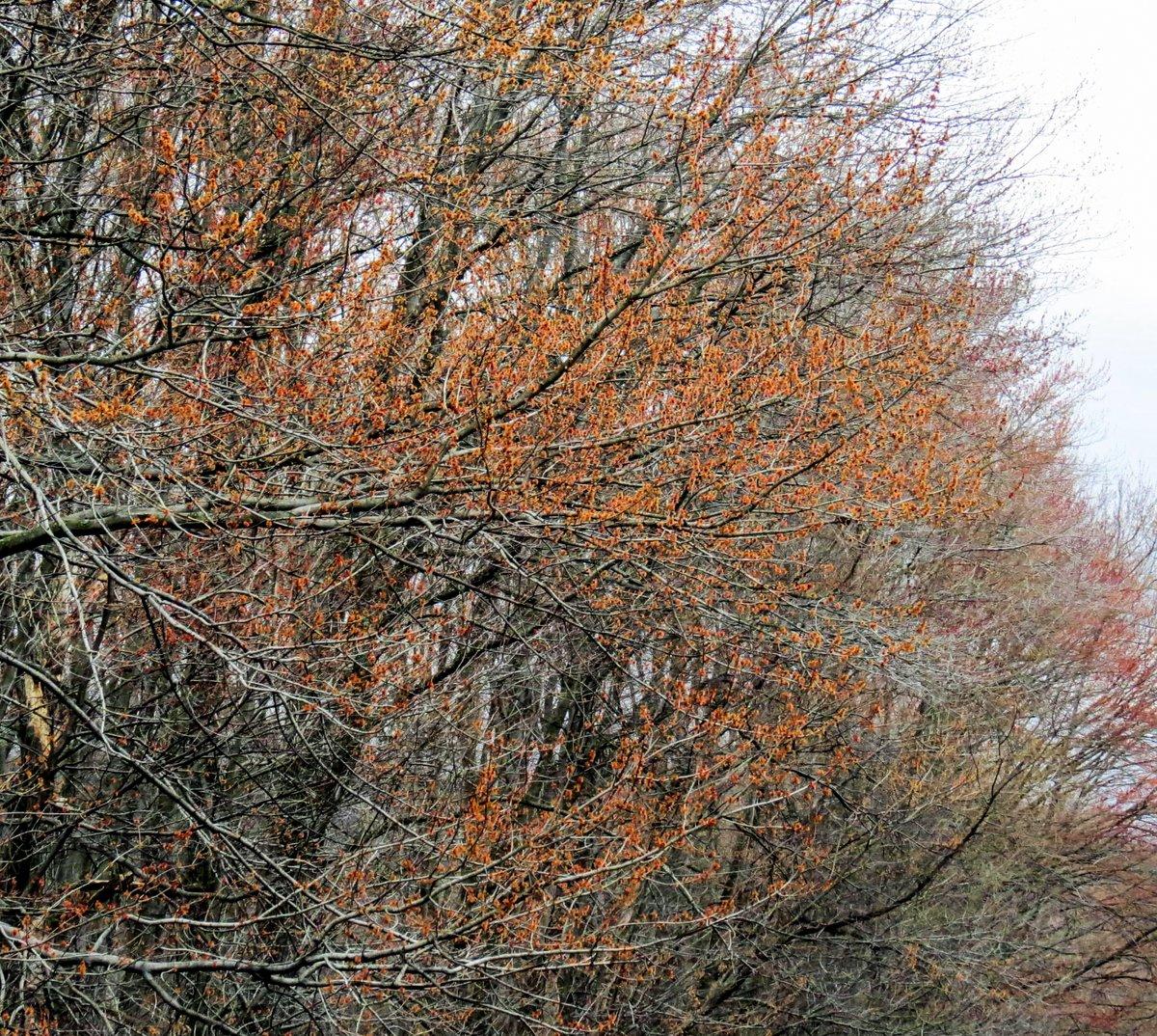 1. Red Maple Flowering