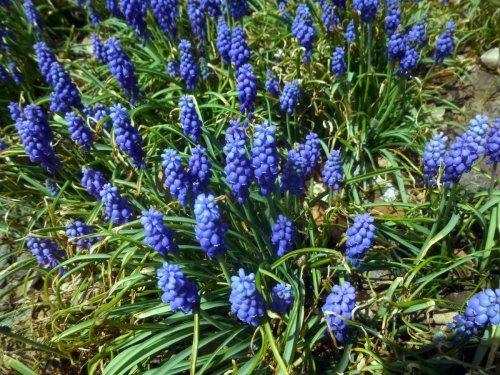 10. Grape Hyacinths