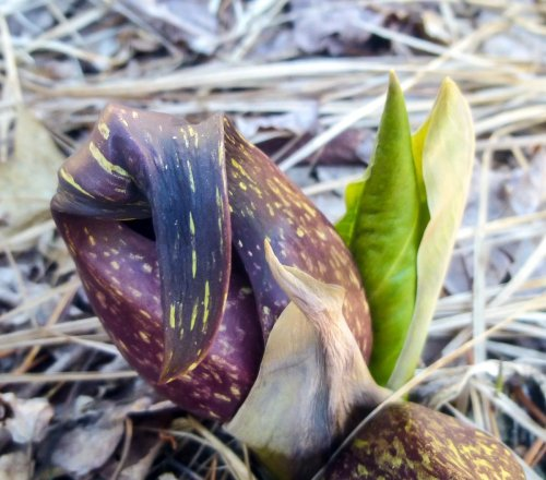 10. Skunk Cabbage with Foliage