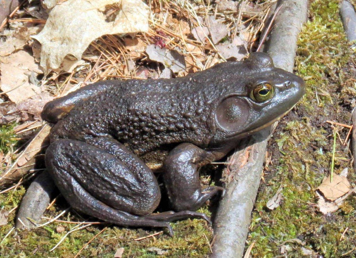 11. Bullfrog