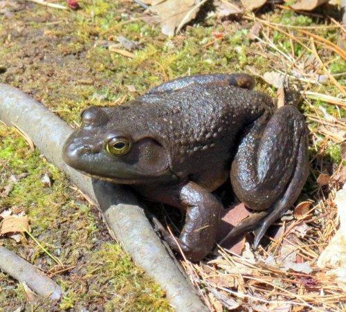 12. Bullfrog