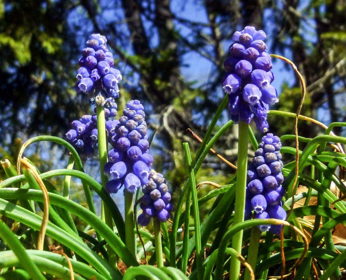 13. Grape Hyacinth