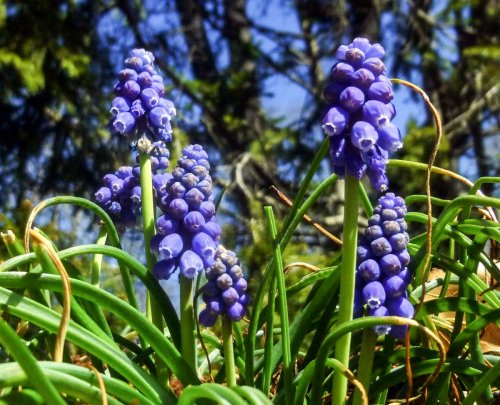 13. Grape Hyacinth