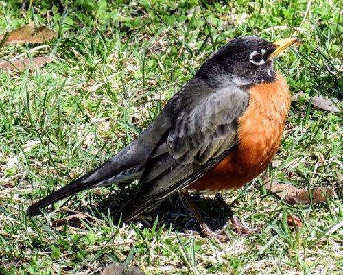 13. Robin