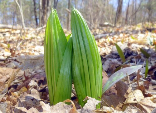 14. False Hellebore