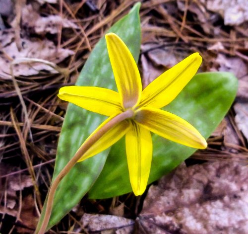 14. Trout Lily