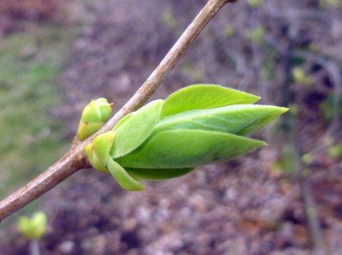15. Lilac Bud 3