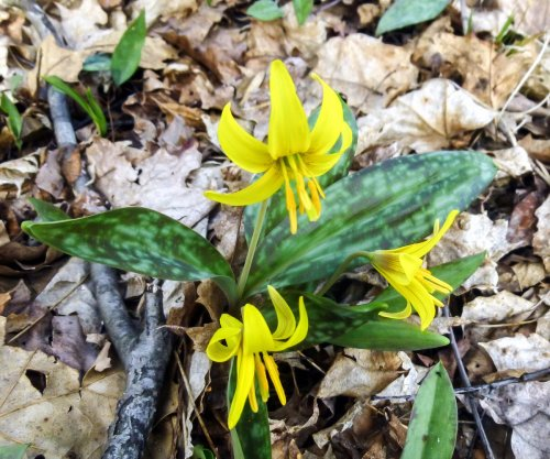 15. Trout Lilies