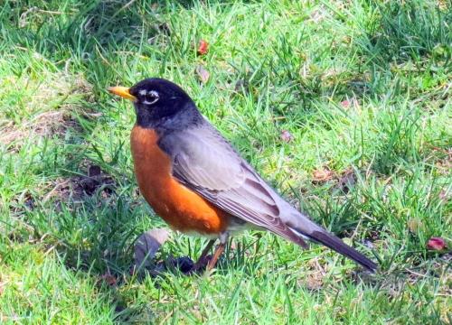 16. Robin