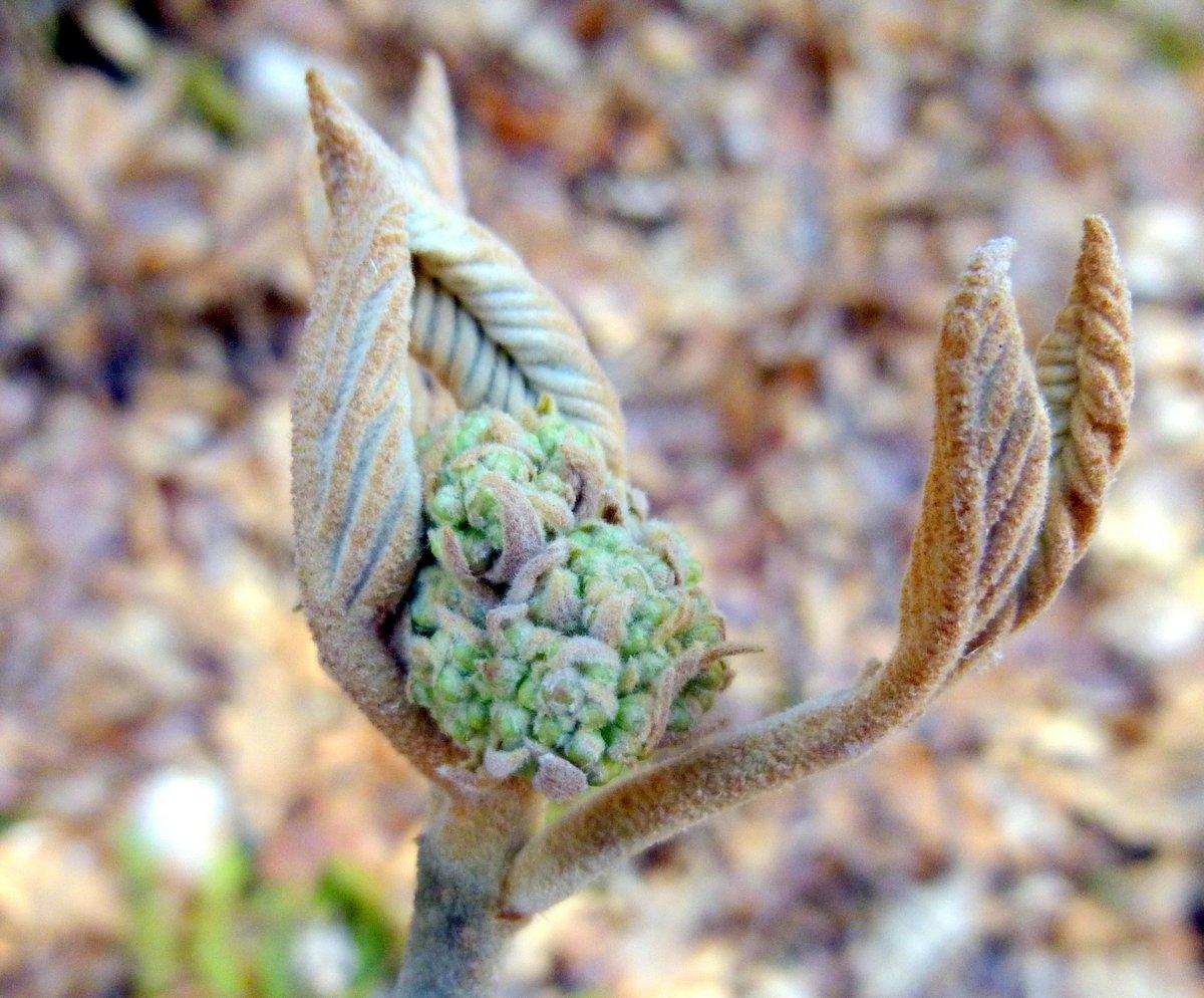 17. Hobblebush Flower Bud