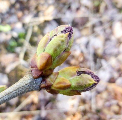 18. Lilac Flower Buds