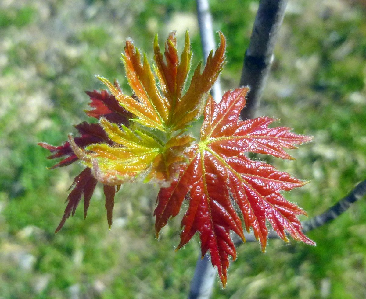 19. New Maple Leaves