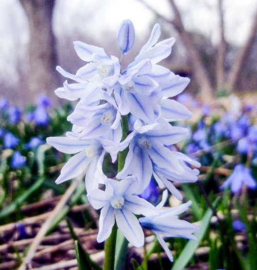 19. Striped Squill