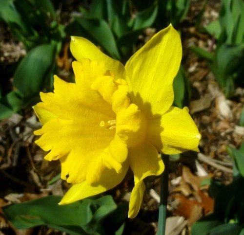 2. Daffodil 3