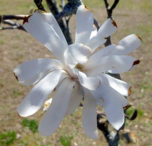 2. Magnolia
