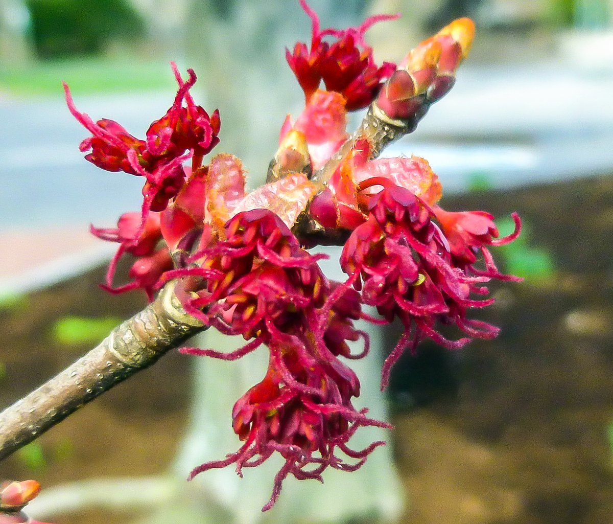 2. Red Maple Flowers